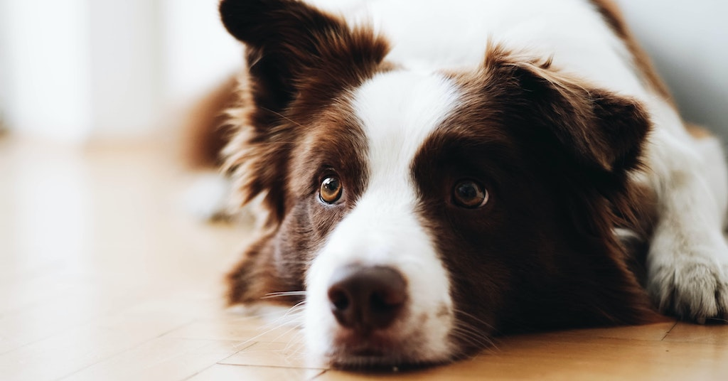 Thoughtful border collie