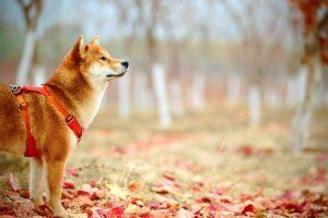 Shiba Inu (dog) in autumn