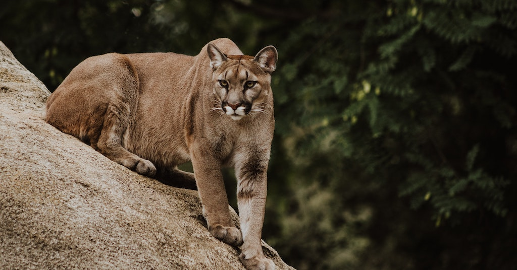 A cougar on a rock